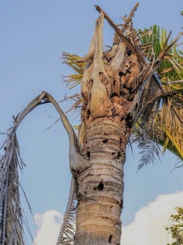 CRBに浸潤され、枯死したココナッツの木