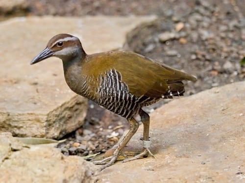 野生絶滅したグアムの島鳥・ココ(Ko'ko')バード