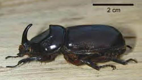 強固な体躯にトゲの付いた太い脚を持つCRBのオス。雌雄同型のメスは尾端が毛で覆われている。 Photo courtesy ofAubrey Moore, PhD, University of Guam