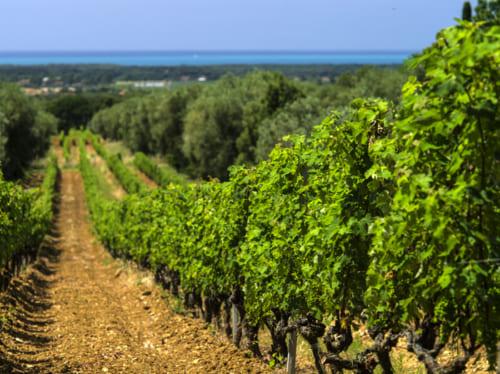 ティレニア海を望むことのできるボルゲリの畑。同じトスカーナワインのキャンティやブルネッロ・ディ・モンタルチーノともまったく異なる個性を持つ。