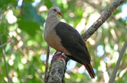 モモイロバトは薄桃色の体色、茶色の翼、幅の広い錆茶色の尾を持ち、樹木の花、葉、実を食べる美しい鳥 Pink pigeon1 by Emma Caton, Durrell Wildlife Conservation Trust.