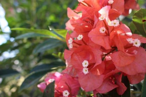 グアムの島花ブーゲンビリア