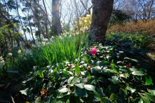 登り始めが急坂な吾妻山、あちこちに水仙が咲く