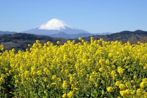吾妻山の定番カット、菜の花と富士山