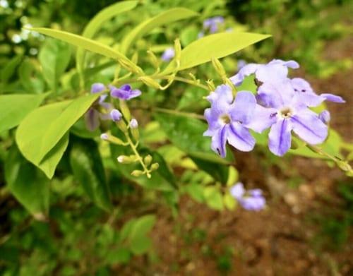 熱帯花木のデュランタ(画像上)