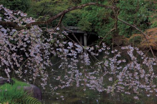 五摂家のひとつである近衛家邸宅跡地にある「糸桜」。散策しながら、歴史ある建造物とともに桜が見られるのも、京都御苑の花見の楽しみ方だ。見頃3月下旬~4月中旬。