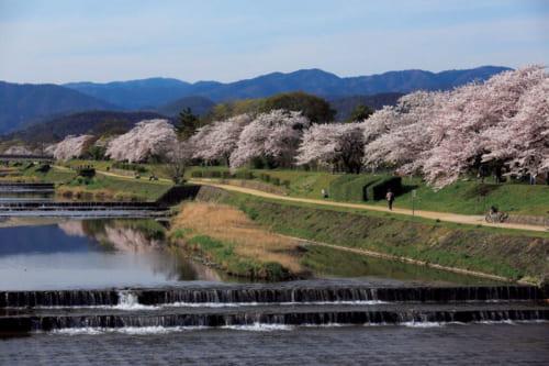 鴨川の水面に反射する太陽の光越しに眺める桜には、独特の風情がある(写真は葵橋付近の遊歩道)。河岸を散策しながらの桜観賞も、京の花見の醍醐味だろう。