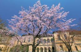 『京都府庁旧本館』の中庭では、「祇園枝垂れ桜」をはじめ、大きさも樹齢も違う桜の競演が楽しめる。 京都府庁旧本館 京都市上京区下立売通新町西入薮ノ内町 電話:075・414・5432 開館:10時~17時(火曜~金曜、土曜は第1・第3・第5)休館:月曜、第2・第4土曜、日曜、祝日(3月24日~4月5日の観桜会時は除く)料金:無料 交通:地下鉄烏丸線丸太町駅下車、徒歩約10分