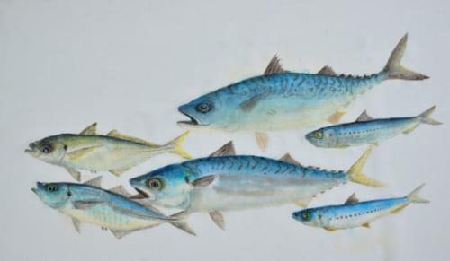 左からアジ、サバ、イワシの青魚3種。目に力があり、実際に魚が泳いでいるかのような臨場感がある。複数の魚のカラー魚拓を集めると、まるで水族館の中にいるような趣だ。
