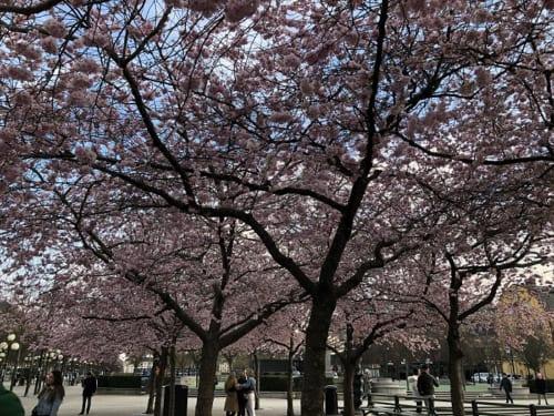 ストックホルムの中心にある王立公園の桜並木。花が咲くこの時期、例年なら大勢の人が押し寄せるが今年は人もまばら。ちなみにこの桜は日本政府から贈呈されたものだ。